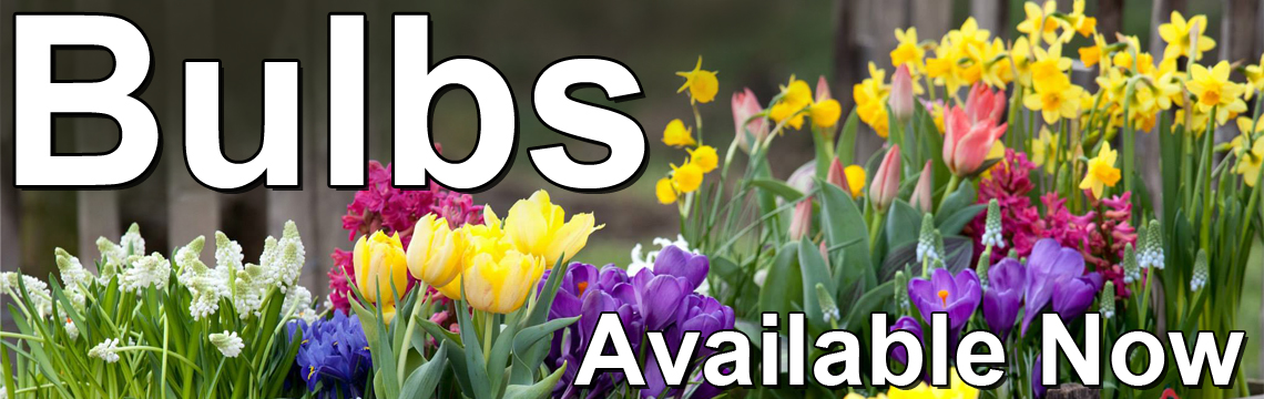 Autumn Bulbs Available now